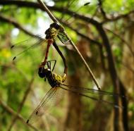 Asisbiz Libellulidae Red Swampdragon Agrionoptera insignis allogenes Sunshine Coast Qld Australia 073