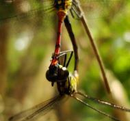 Asisbiz Libellulidae Red Swampdragon Agrionoptera insignis allogenes Sunshine Coast Qld Australia 074