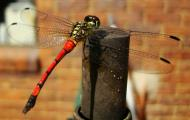 Asisbiz Libellulidae Red Swampdragon Agrionoptera insignis allogenes Sunshine Coast Qld Australia 098