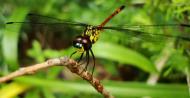 Asisbiz Libellulidae Red Swampdragon Agrionoptera insignis allogenes Sunshine Coast Qld Australia 101