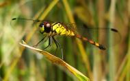 Asisbiz Libellulidae Red Swampdragon Agrionoptera insignis allogenes Sunshine Coast Qld Australia 105