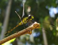 Asisbiz Libellulidae Red Swampdragon Agrionoptera insignis allogenes Sunshine Coast Qld Australia 109