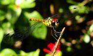 Asisbiz Libellulidae Red Swampdragon Agrionoptera insignis allogenes Sunshine Coast Qld Australia 110
