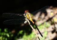 Asisbiz Libellulidae Red Swampdragon Agrionoptera insignis allogenes Sunshine Coast Qld Australia 113