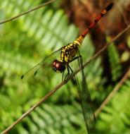 Asisbiz Libellulidae Red Swampdragon Agrionoptera insignis allogenes Sunshine Coast Qld Australia 115