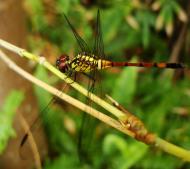 Asisbiz Libellulidae Red Swampdragon Agrionoptera insignis allogenes Sunshine Coast Qld Australia 116