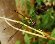 Asisbiz Libellulidae Red Swampdragon Agrionoptera insignis allogenes Sunshine Coast Qld Australia 117