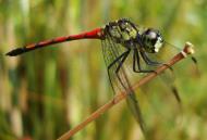 Asisbiz Libellulidae Red Swampdragon Agrionoptera insignis allogenes Sunshine Coast Qld Australia 120
