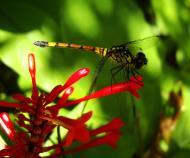 Asisbiz Libellulidae Red Swampdragon Agrionoptera insignis allogenes Sunshine Coast Qld Australia 125