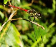 Asisbiz Libellulidae Red Swampdragon Agrionoptera insignis allogenes Sunshine Coast Qld Australia 126