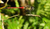 Asisbiz Libellulidae Red Swampdragon Agrionoptera insignis allogenes Sunshine Coast Qld Australia 127