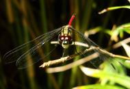 Asisbiz Libellulidae Red Swampdragon Agrionoptera insignis allogenes Sunshine Coast Qld Australia 128