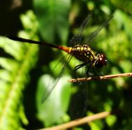 Asisbiz Libellulidae Red Swampdragon Agrionoptera insignis allogenes Sunshine Coast Qld Australia 133