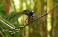 Asisbiz Libellulidae Red Swampdragon Agrionoptera insignis allogenes Sunshine Coast Qld Australia 138