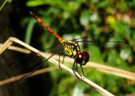 Asisbiz Libellulidae Red Swampdragon Agrionoptera insignis allogenes Sunshine Coast Qld Australia 139