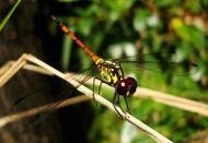 Asisbiz Libellulidae Red Swampdragon Agrionoptera insignis allogenes Sunshine Coast Qld Australia 140