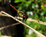 Asisbiz Libellulidae Red Swampdragon Agrionoptera insignis allogenes Sunshine Coast Qld Australia 143