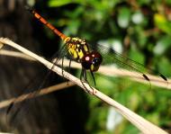 Asisbiz Libellulidae Red Swampdragon Agrionoptera insignis allogenes Sunshine Coast Qld Australia 144