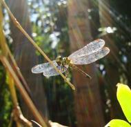 Asisbiz Libellulidae Red Swampdragon Agrionoptera insignis allogenes Sunshine Coast Qld Australia 152