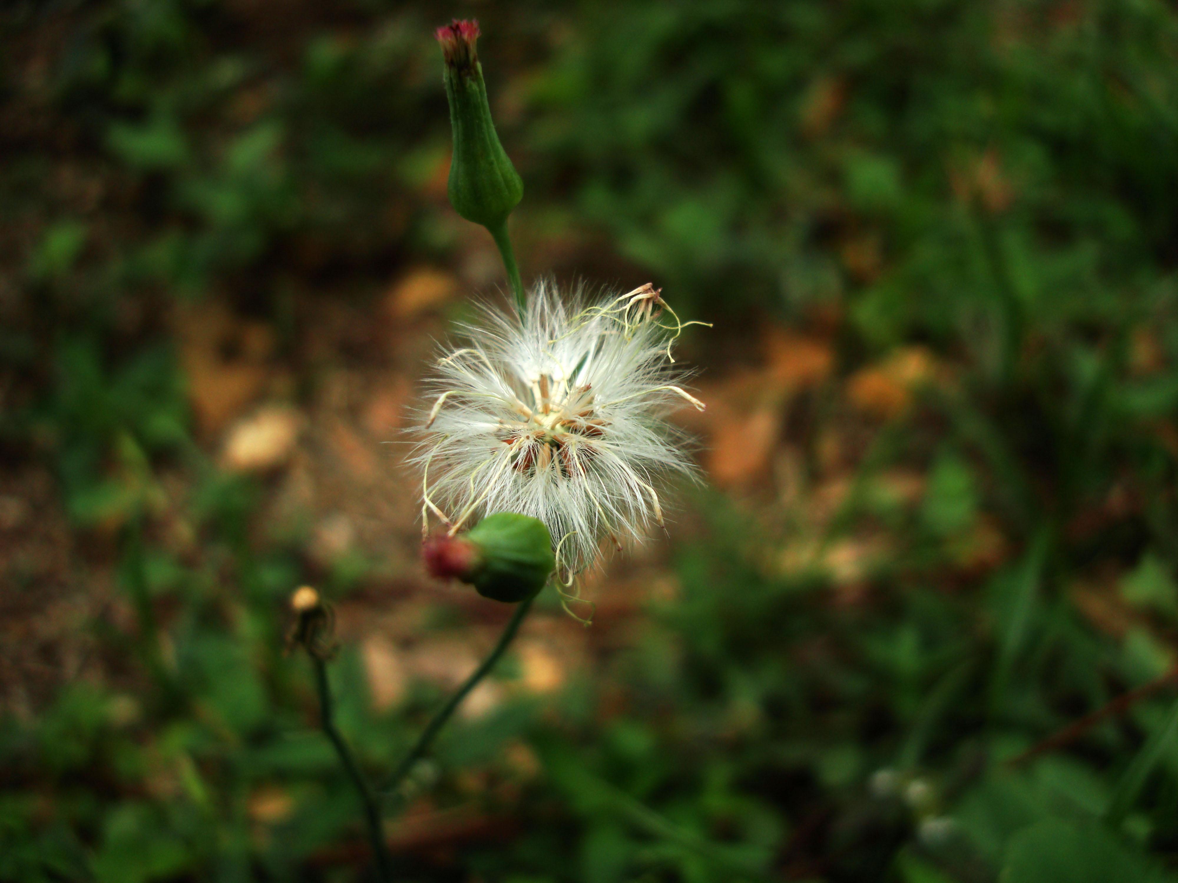 Tiny Flowers Daisy seeds Mindoro Philippines 01