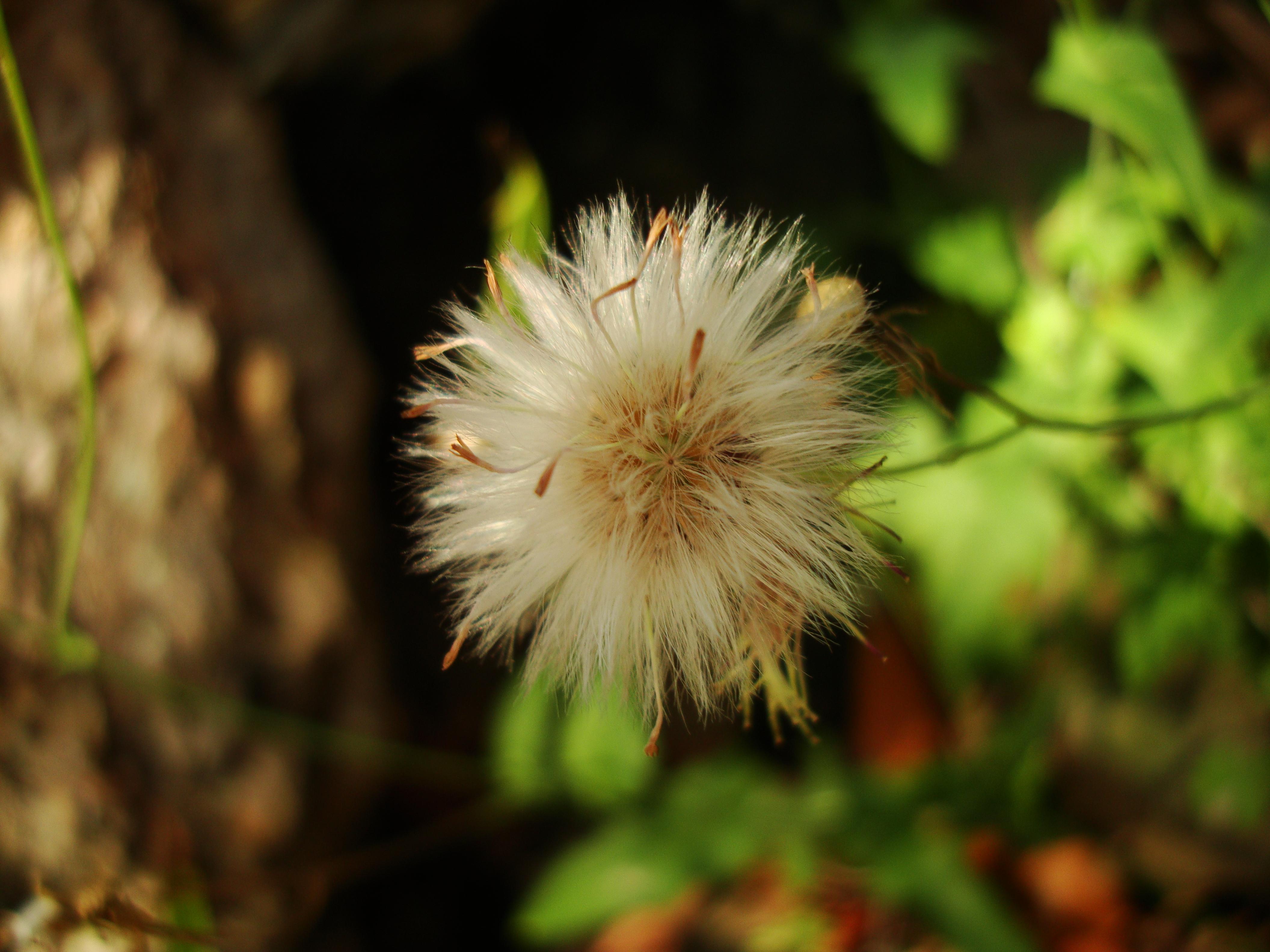 Tiny Flowers Daisy seeds Noosa Australia 06