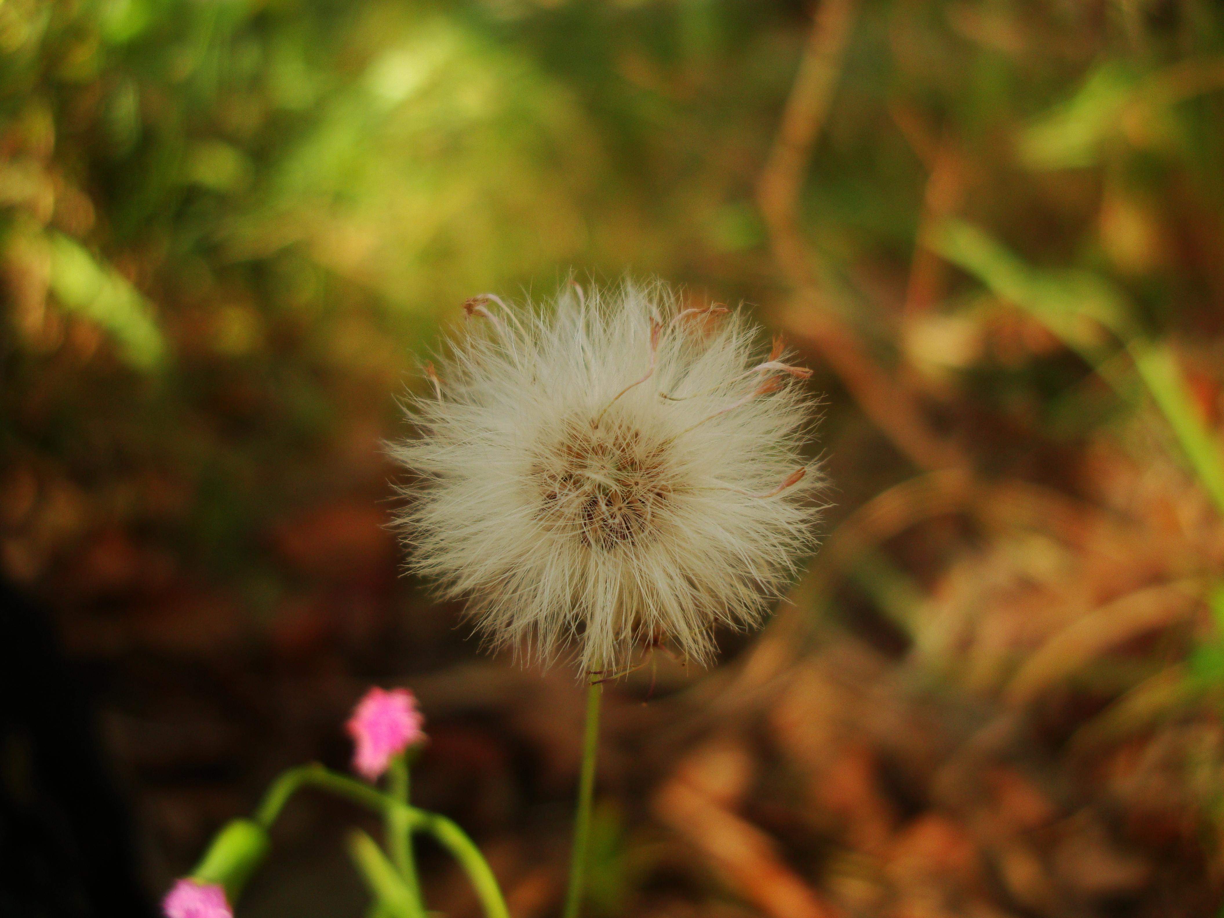 Tiny Flowers Daisy seeds Noosa Australia 08