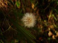 Asisbiz Tiny Flowers Daisy seeds Noosa Australia 01