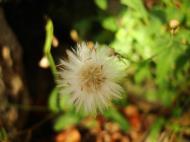 Asisbiz Tiny Flowers Daisy seeds Noosa Australia 05