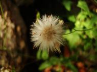Asisbiz Tiny Flowers Daisy seeds Noosa Australia 07