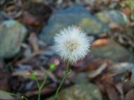 Asisbiz Tiny Flowers Daisy seeds Noosa Australia 10