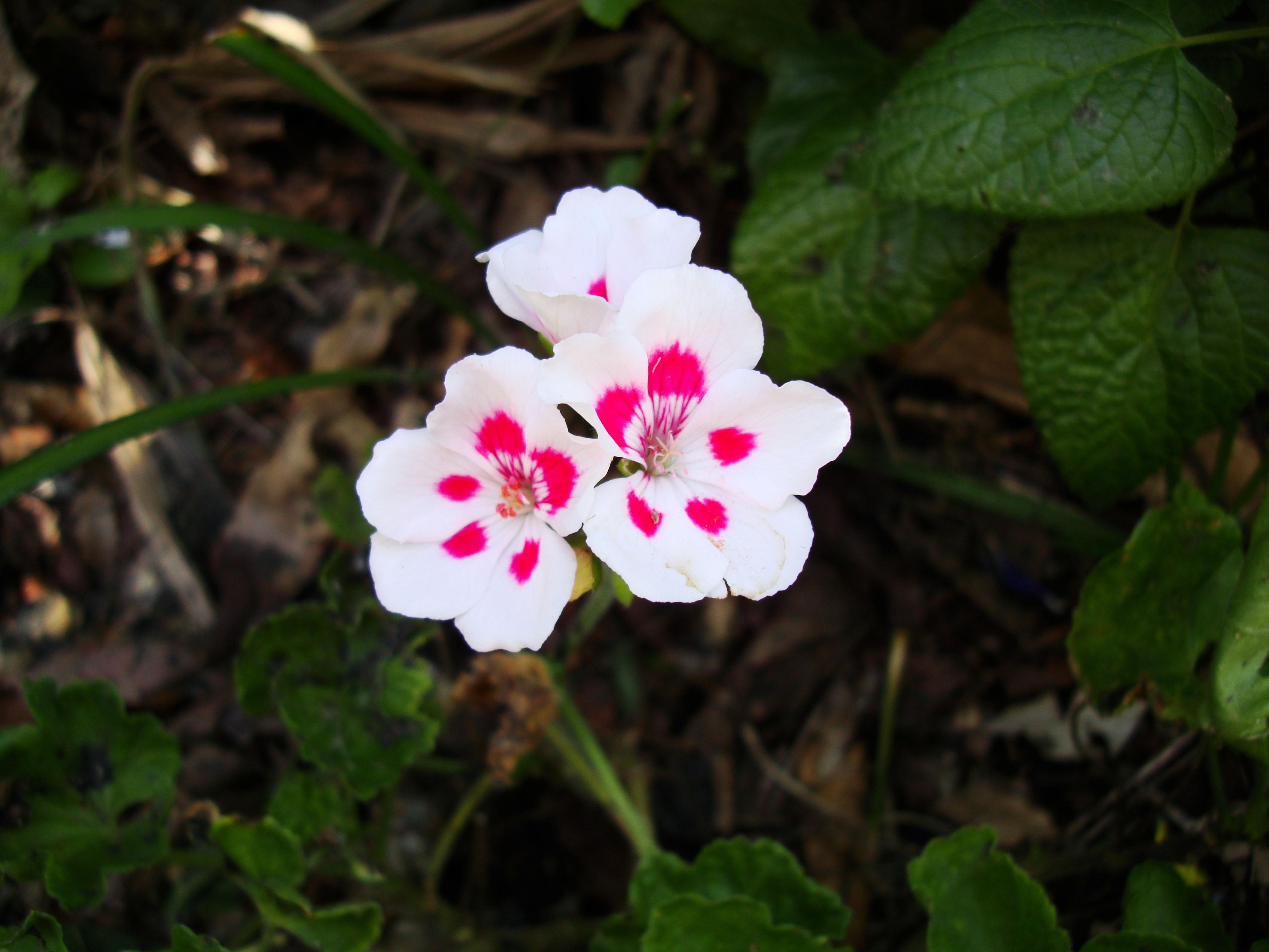 Flowers Australia Malaney 04