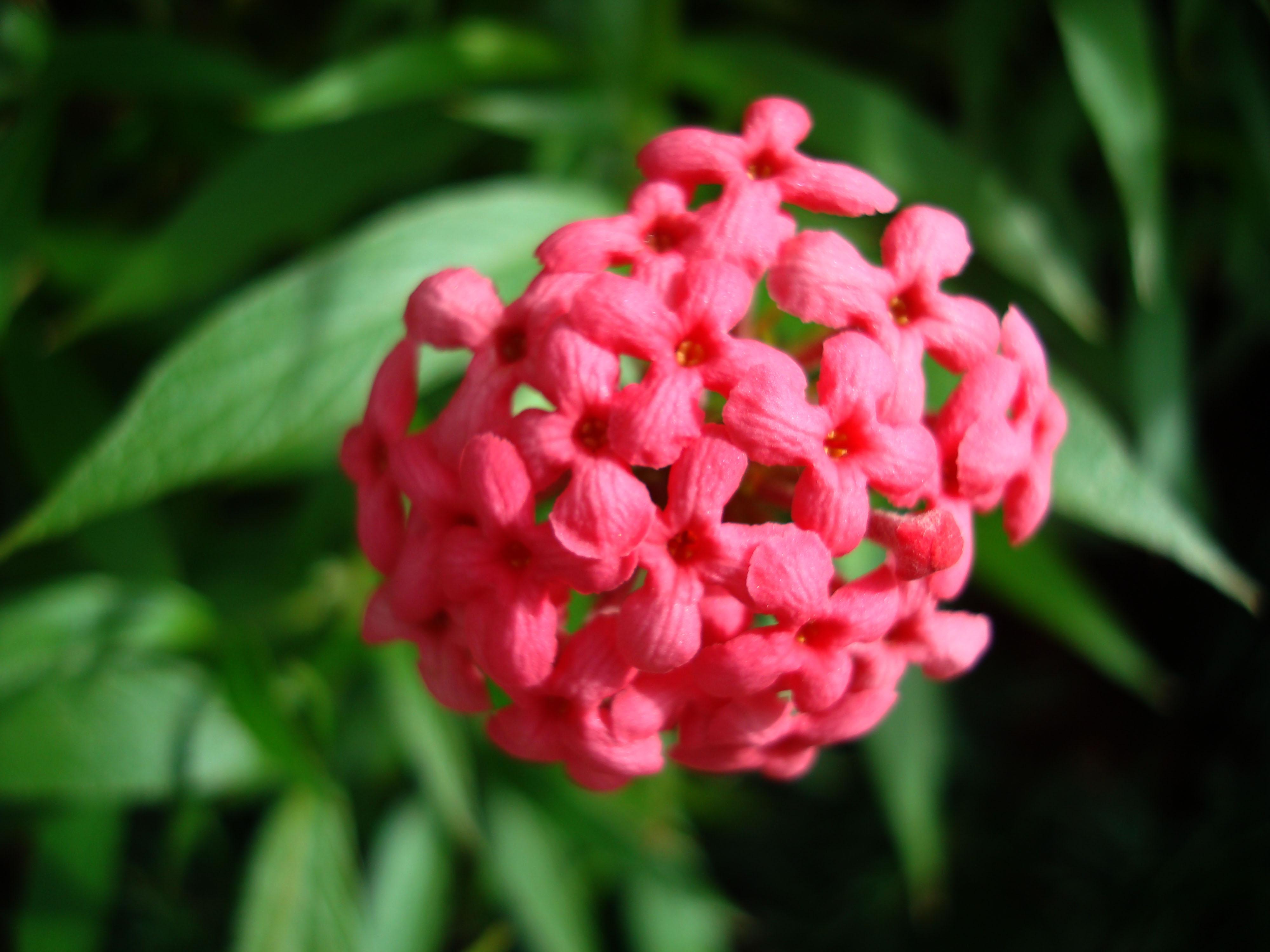 Flowers Philippines 045