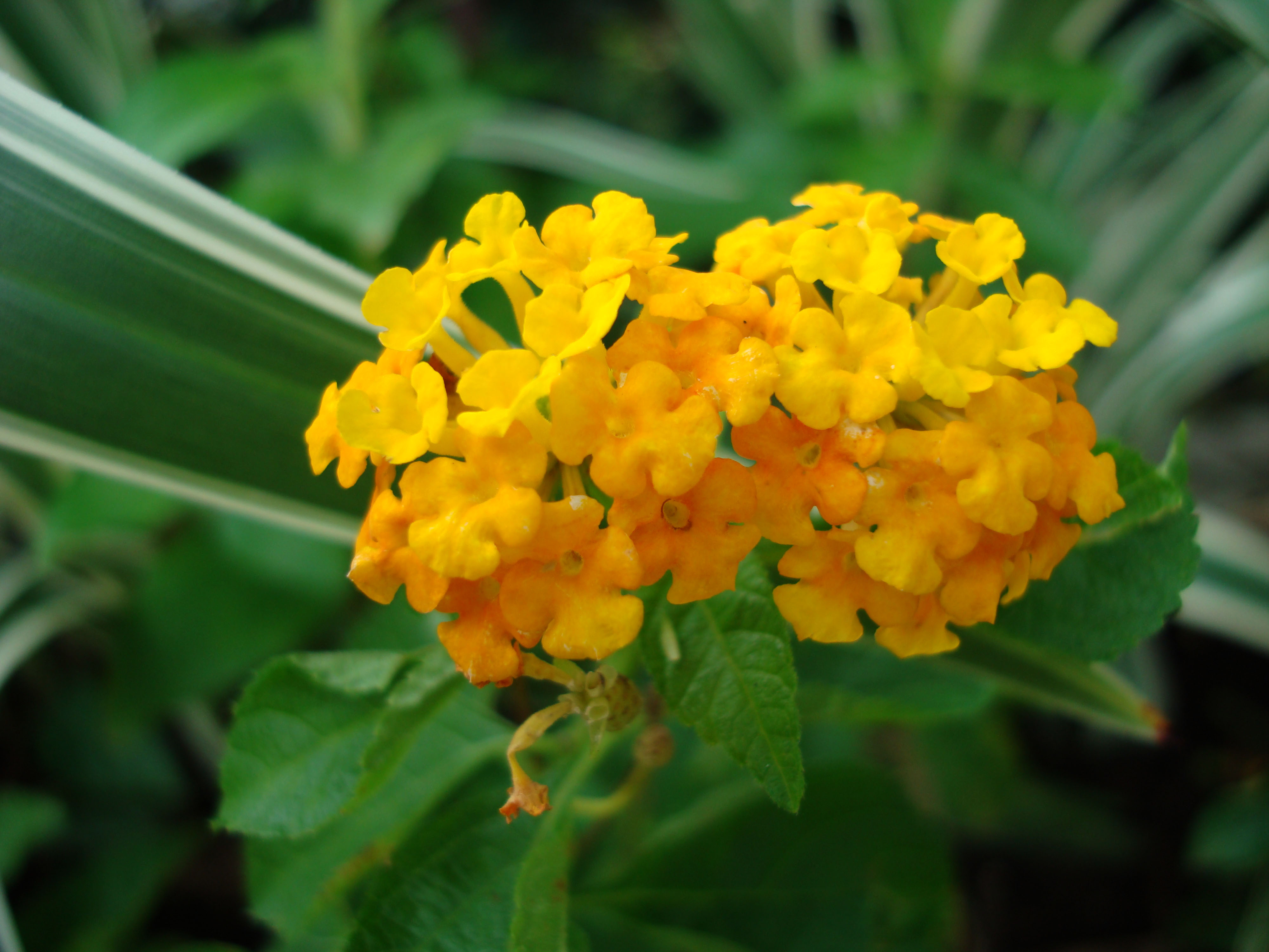 Flowers Philippines 048