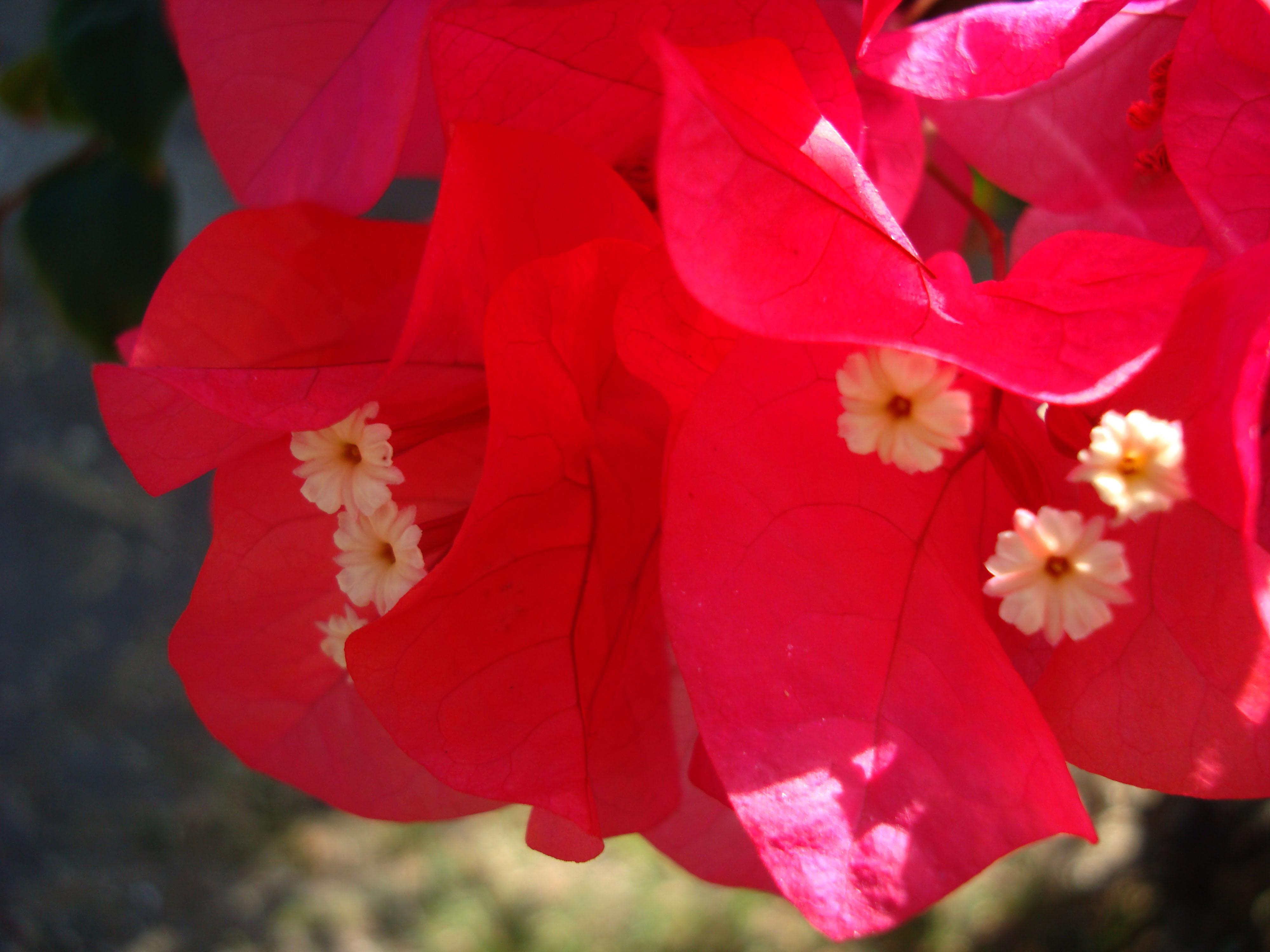 Flowers Philippines 061