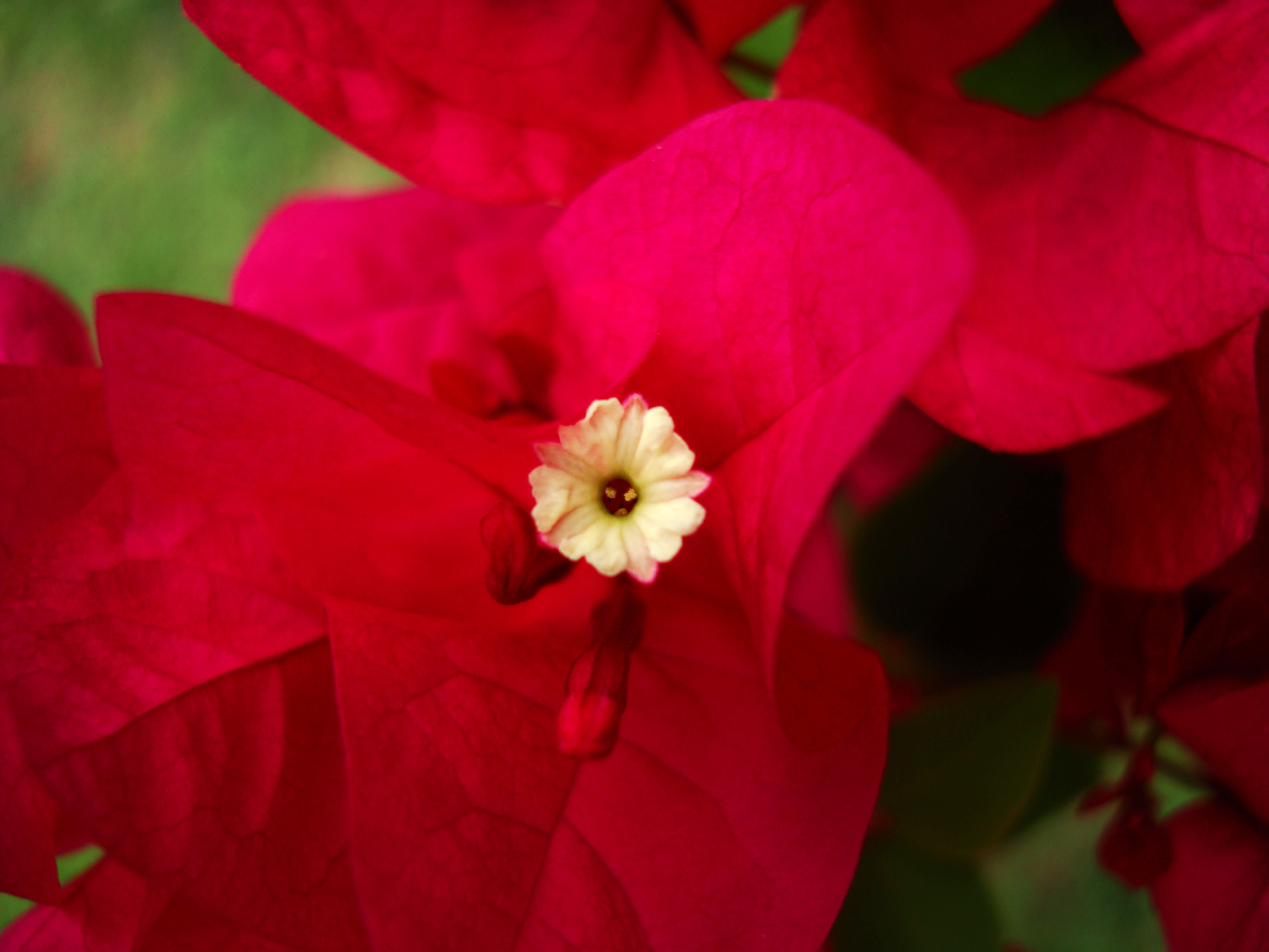 Flowers Philippines 065