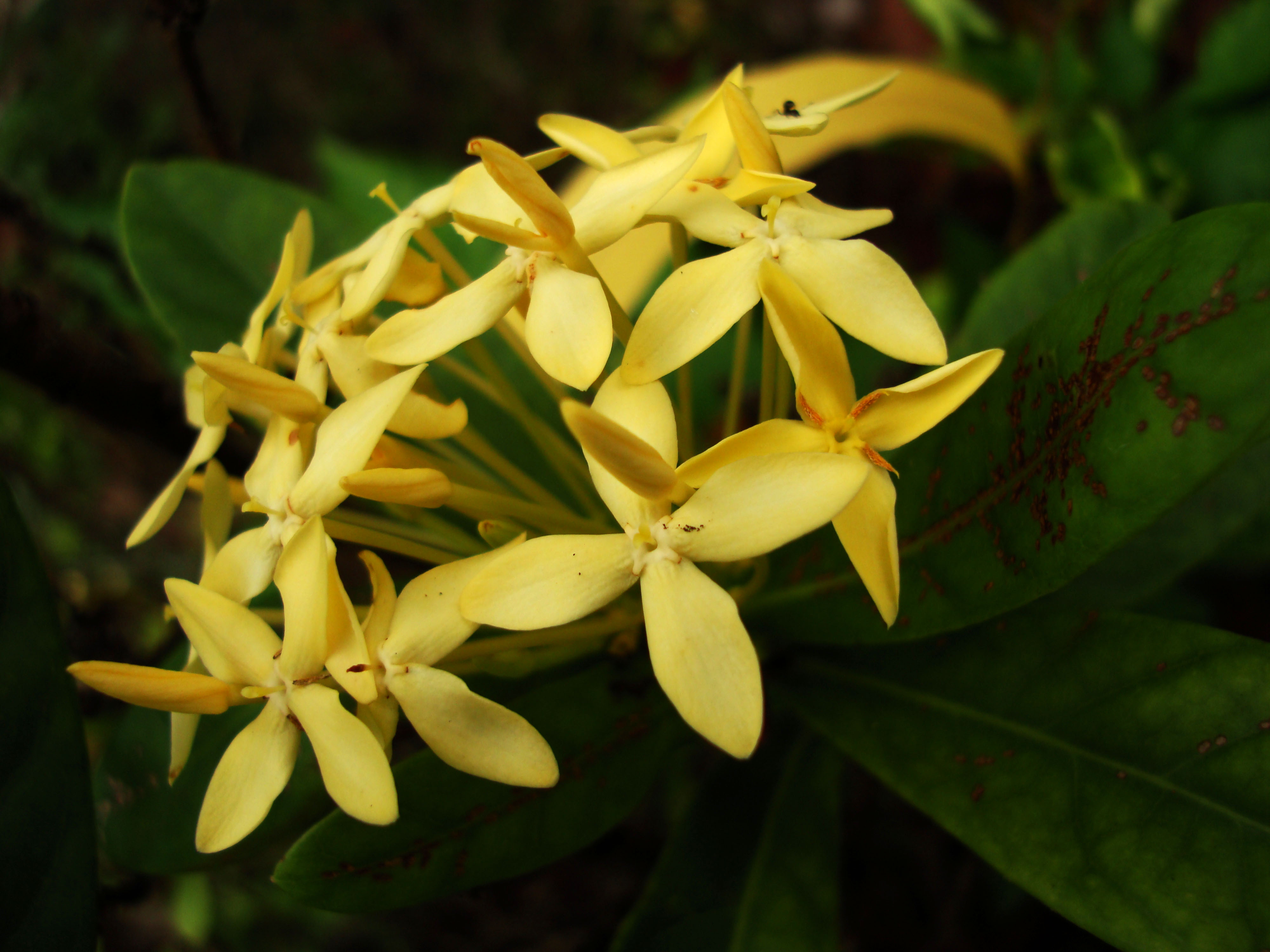 Flowers Philippines 086