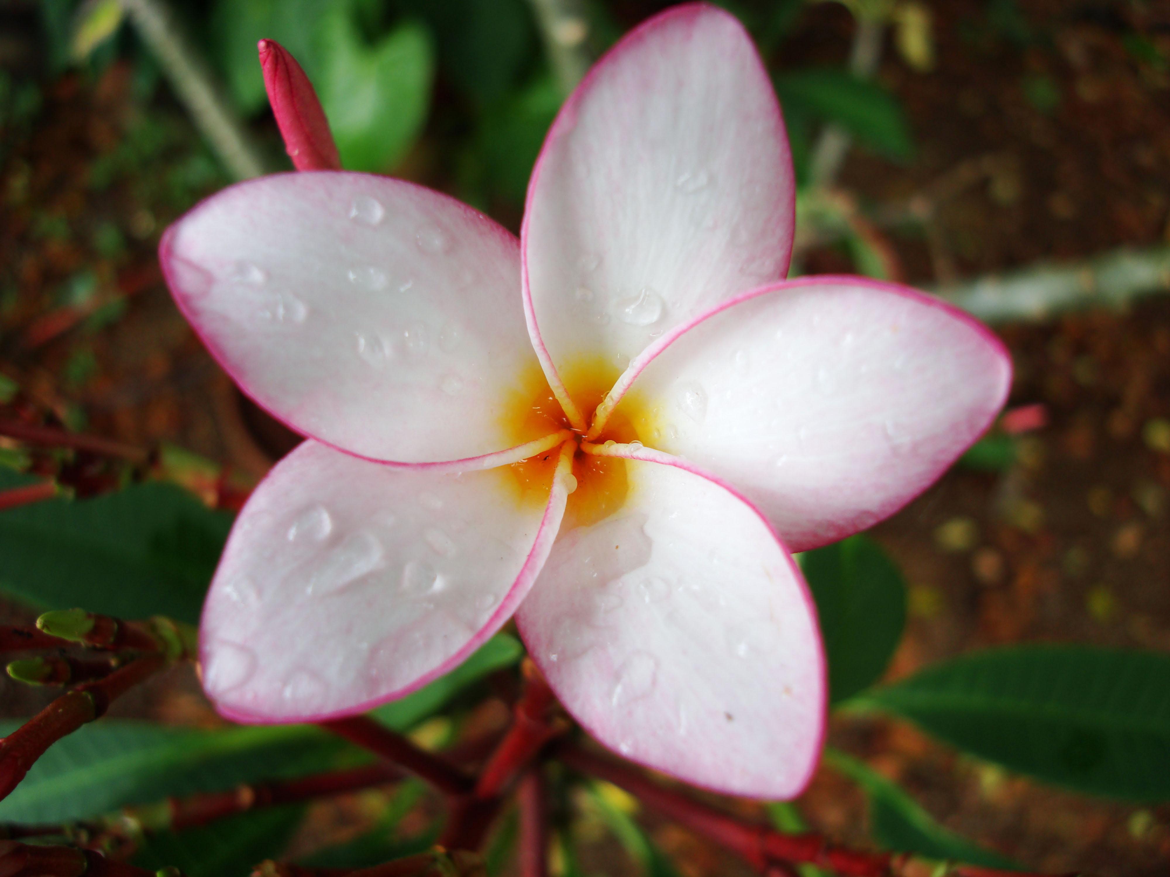 Flowers Philippines 095