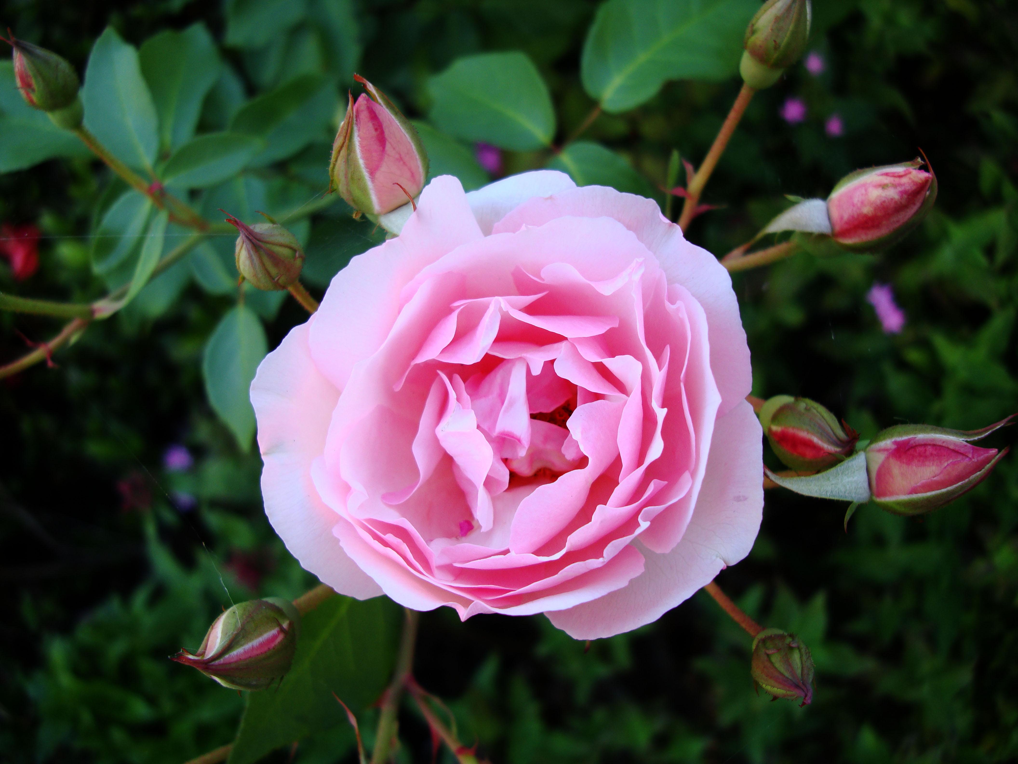 Flowers Roses Malaney 02