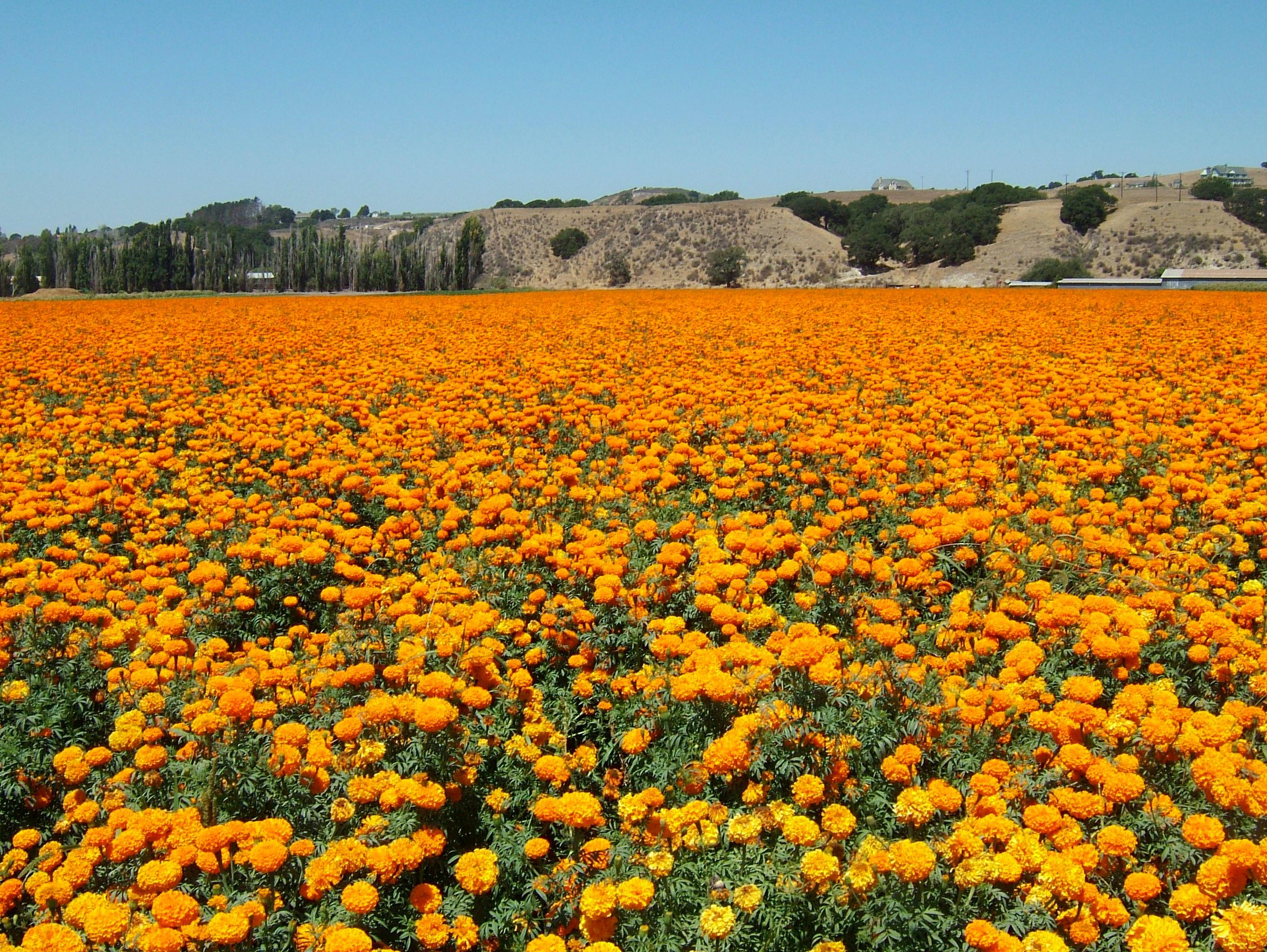 Flowers USA California Solvang Farms 01