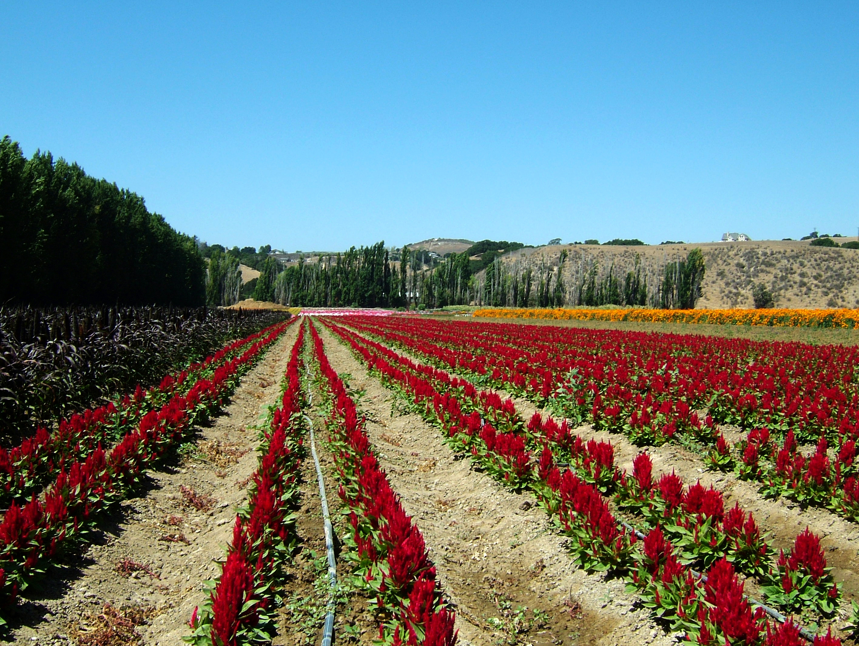 Flowers USA California Solvang Farms 04