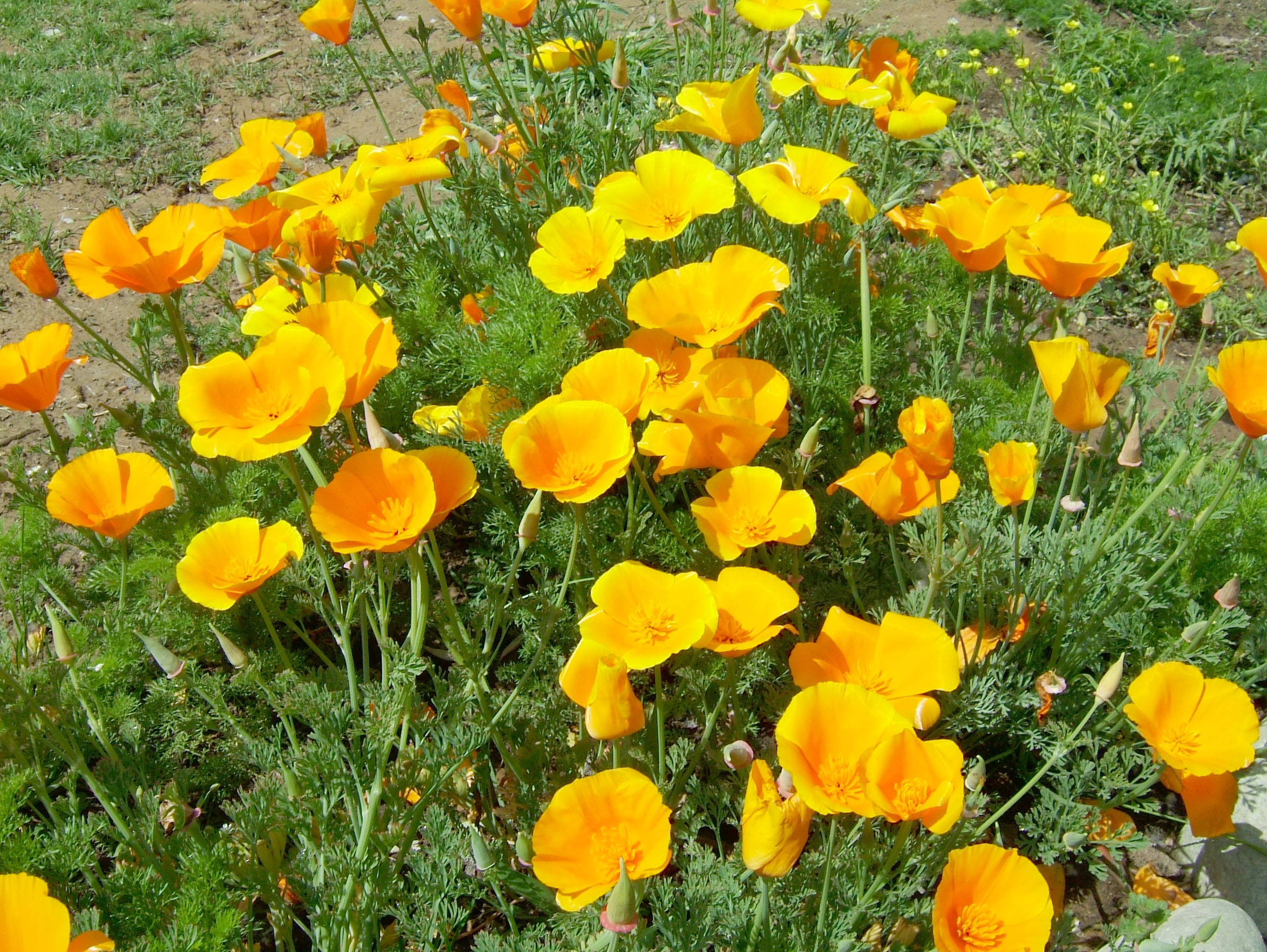 India Kashmir Srinagar Wild Flowers 02