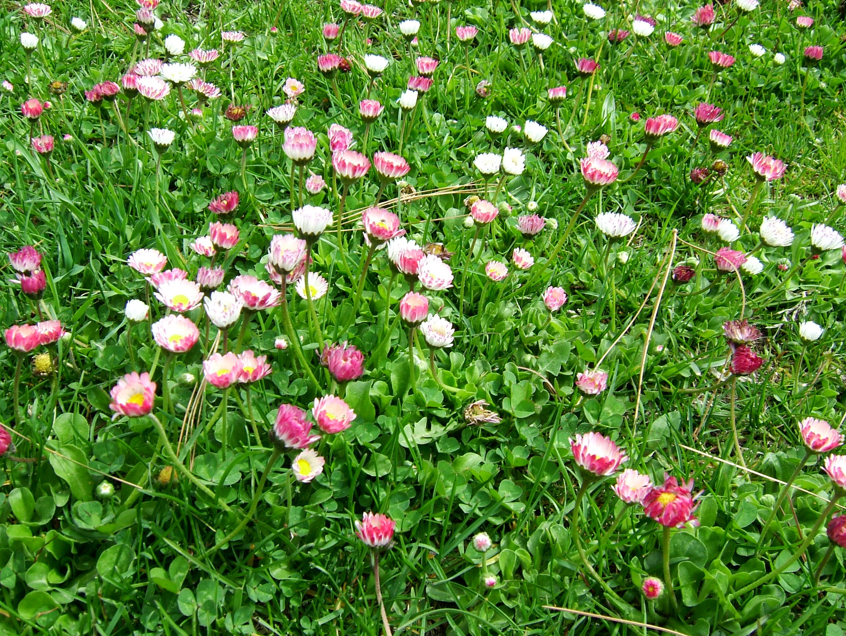 India Kashmir Srinagar Wild Flowers 04
