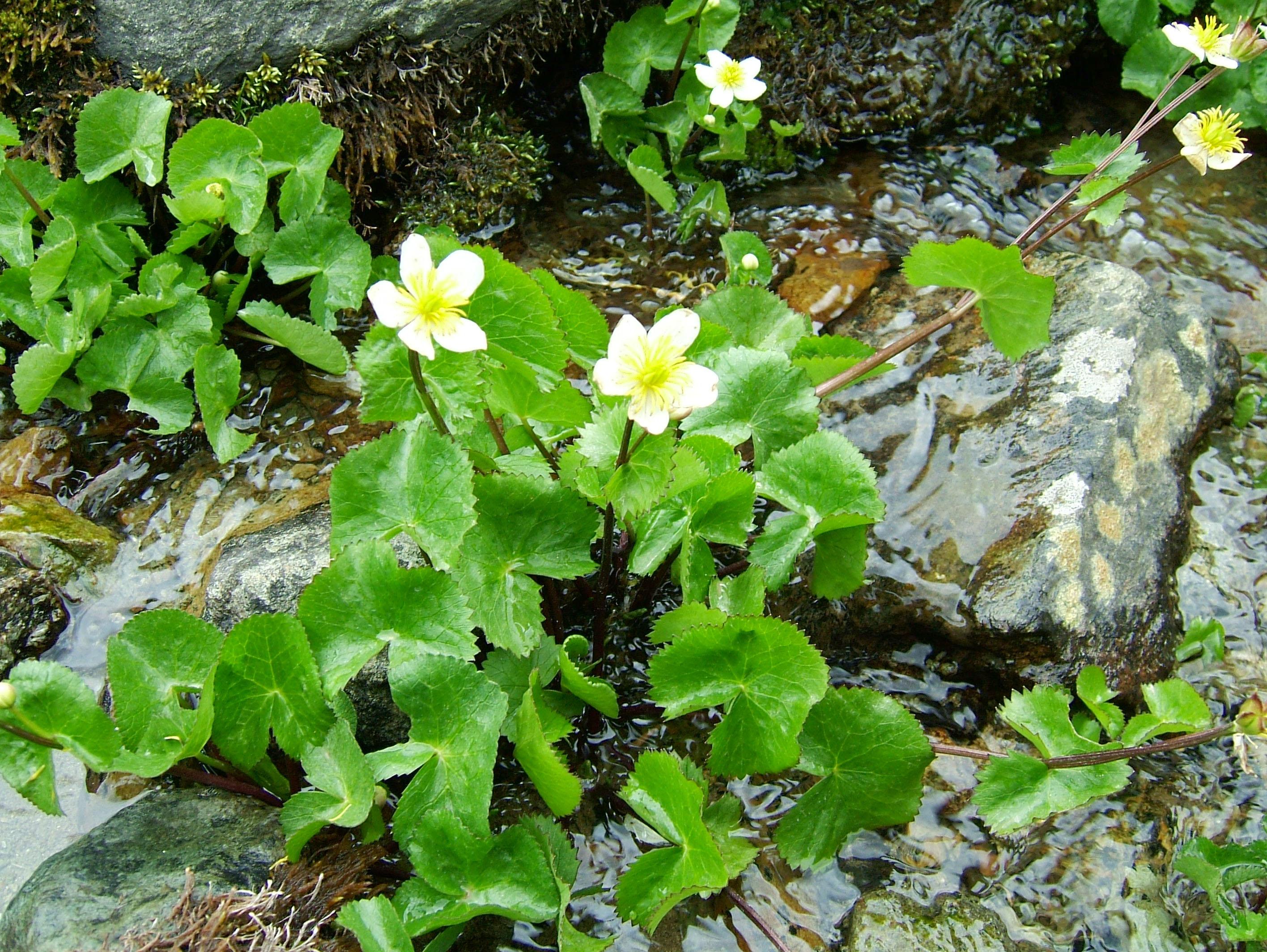 India Kashmir Srinagar Wild Flowers 07