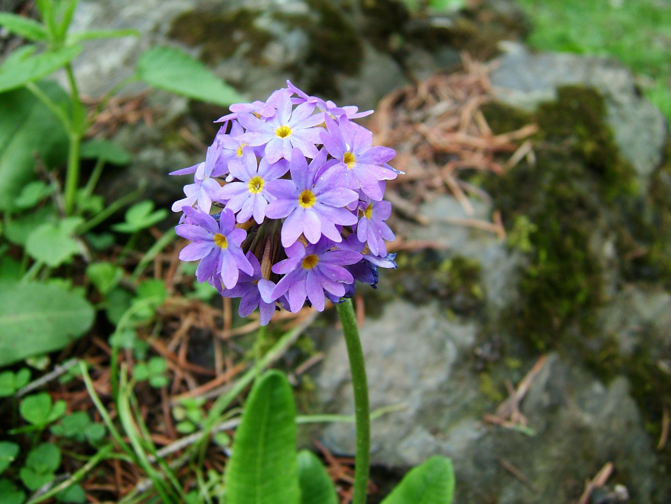 India Kashmir Srinagar Wild Flowers 10