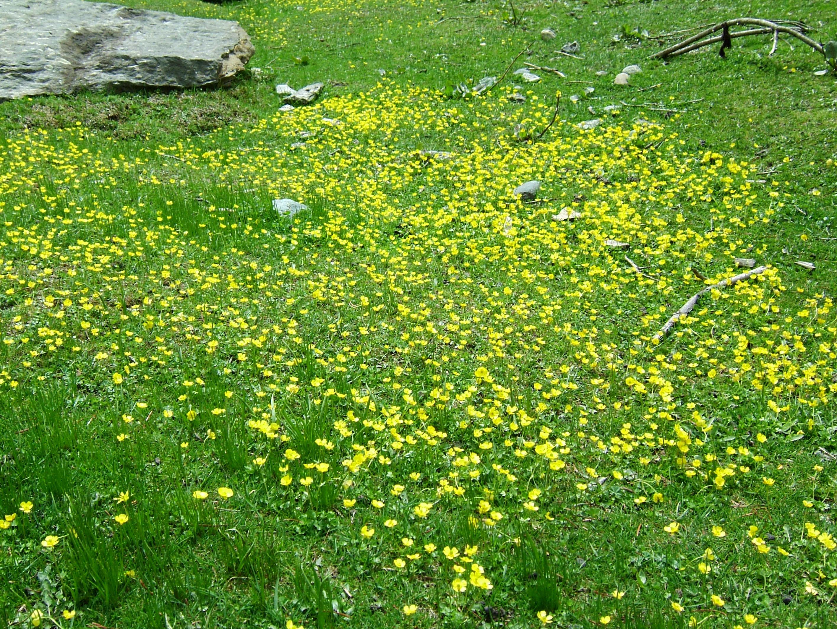 India Kashmir Srinagar Wild Flowers 13