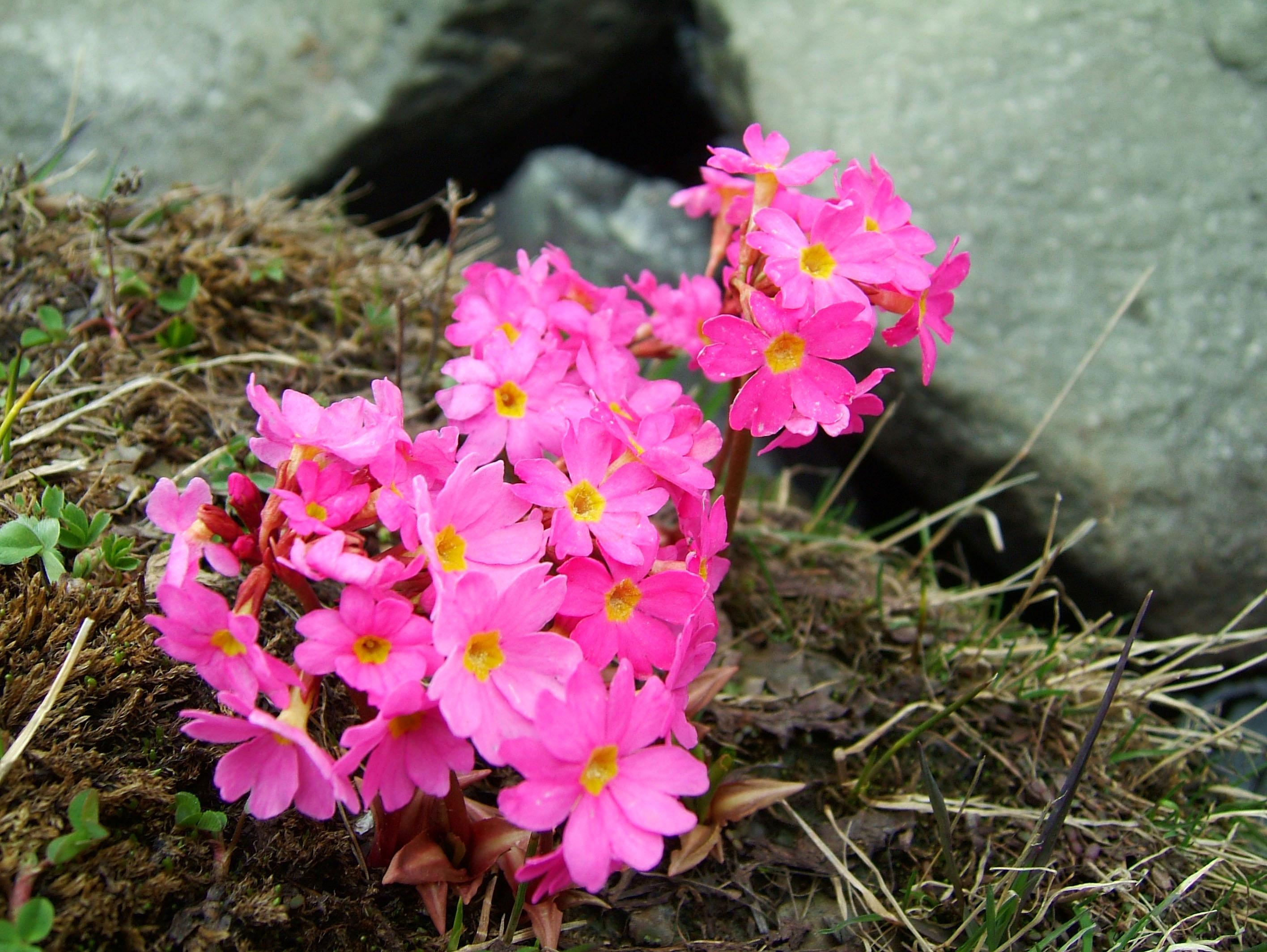 India Kashmir Srinagar Wild Flowers 15