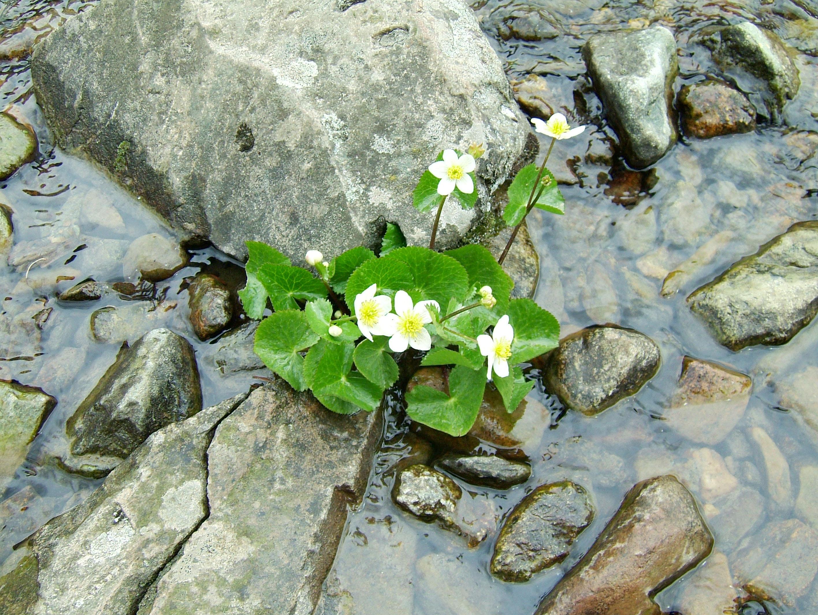 Local Wild spring flowers Srinagar Kashmir India 05