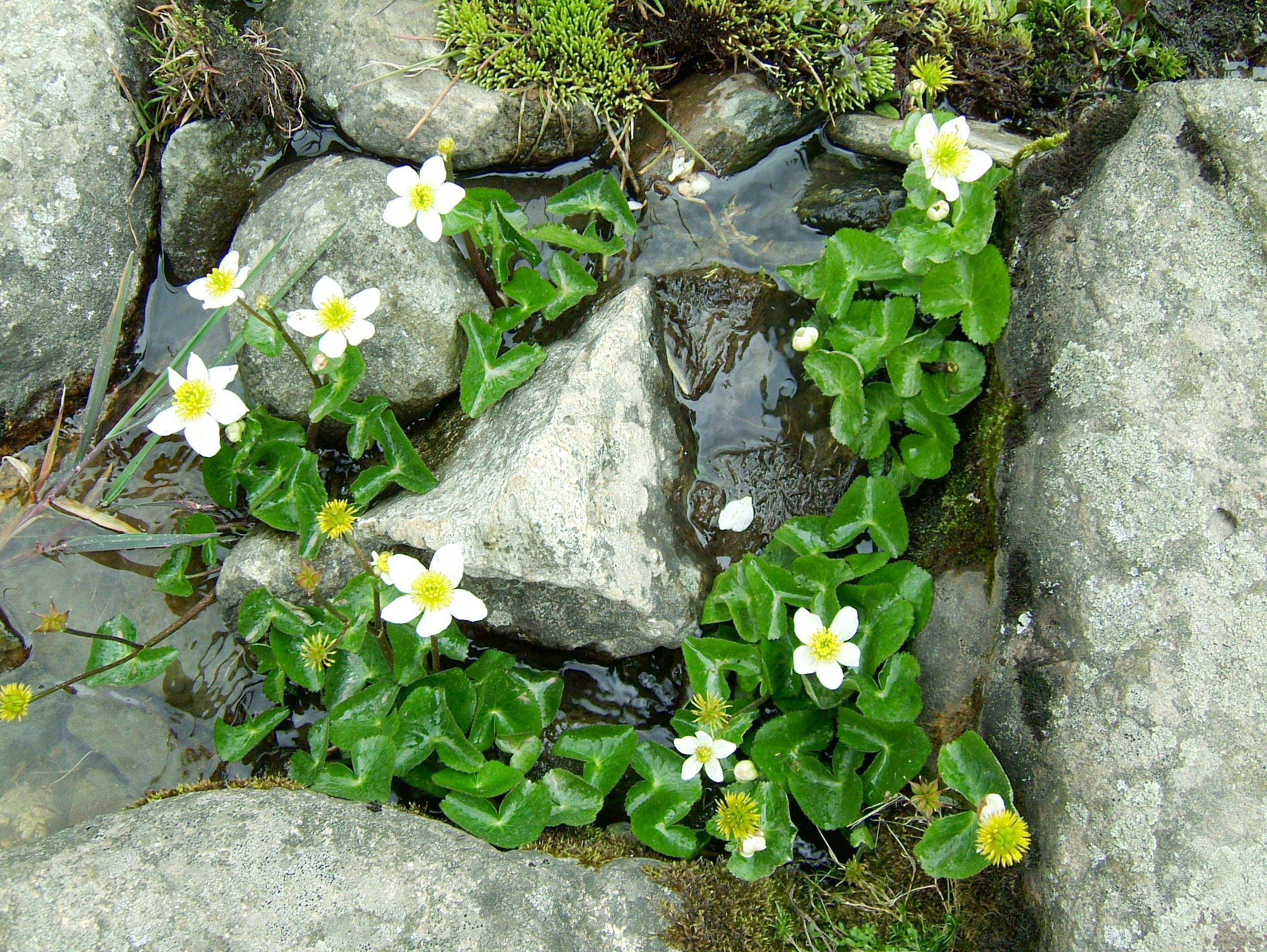 Local Wild spring flowers Srinagar Kashmir India 06