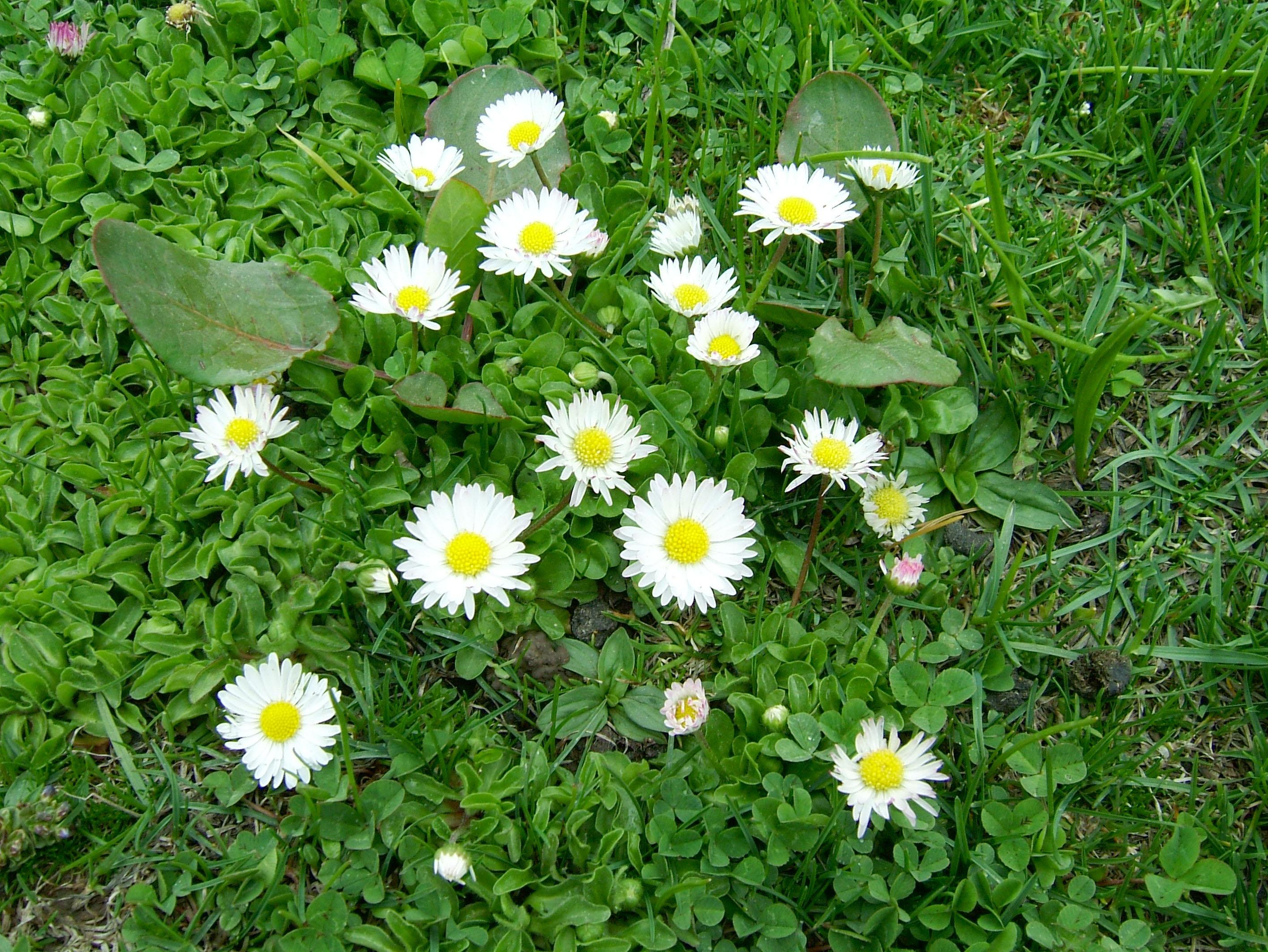 Local Wild spring flowers Srinagar Kashmir India 08