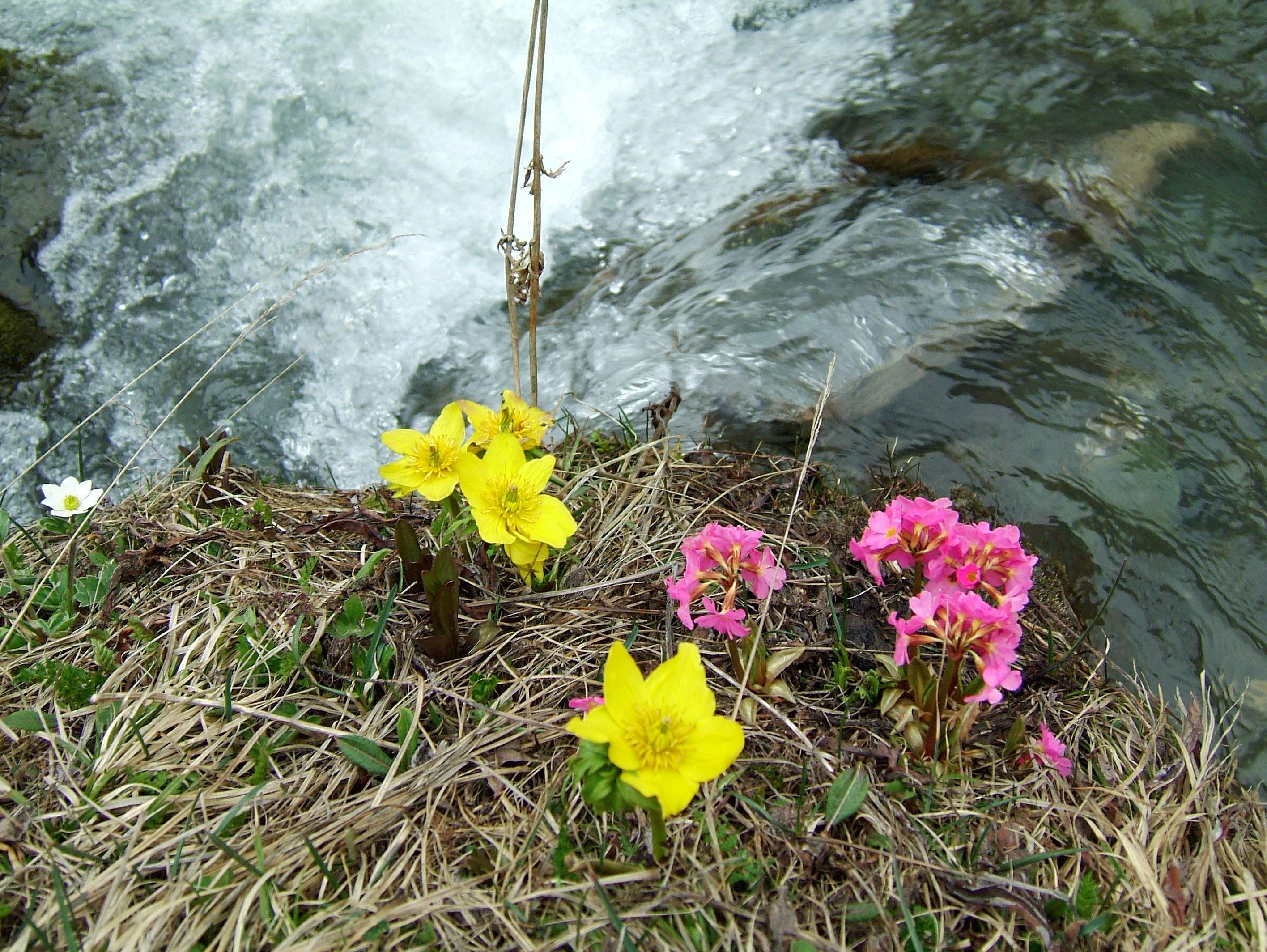 Local Wild spring flowers Srinagar Kashmir India 14